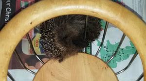 The hedgehog was trapped at a property in Redditch (RSPCA/PA )