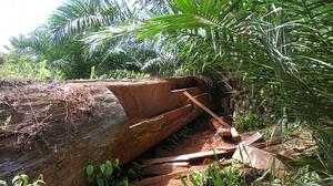 A tree felled in a forest in Malaysian Borneo as part of a clearance to make way for an oil palm plantation (University of Cambridge/PA)