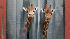 Two giraffes poke their heads out from their enclosure at Blair Drummond Safari Park, near Stirling (Andrew Milligan/PA)