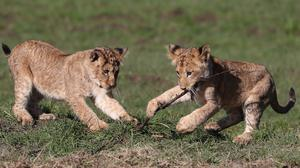 Two young lion cubs play in the spring sunshine at the Blair Drummond Safari Park near Stirling (Andrew Milligan/PA)
