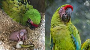 A pair of endangered great green macaws have hatched at Chester Zoo (Chester Zoo/PA)