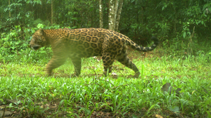 Monitoring reveals a rise in numbers of jaguar in the region (Camera Trap Proyecto Yaguarete/PA)