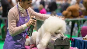 A poodle is prepared for showing during the first day of the Crufts Dog Show (Joe Giddens/PA)