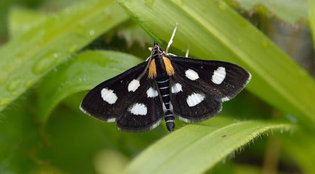 The white-spotted sable moth is among the species which should benefit (Bob Eade/PA)