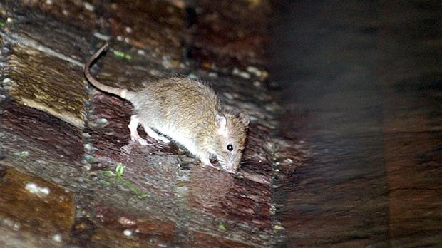 Residential rodent enquiries surged over lockdown, data suggests (Kirsty Wigglesworth/PA)
