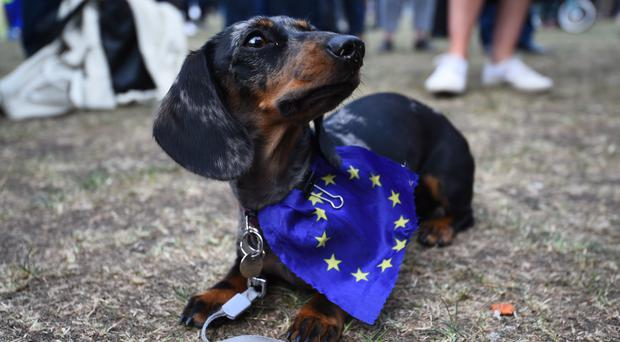 Pudding the miniature dachshund wearing an EU flag outside the Houses of Parliament in Westminster, London (Kirsty O'Connor/PA)