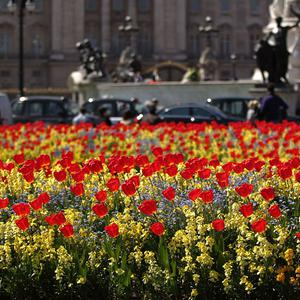 Tulips in bloom in front of Buckingham Palace