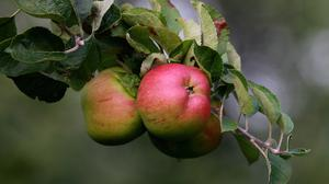 A later flowering - at the normal peak time of around April 26 for apples - reduces the risk of being hit by frosts, Mr Barter said