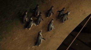 The penguins entertain thousands of visitors every year with their antics (Visit Victoria)