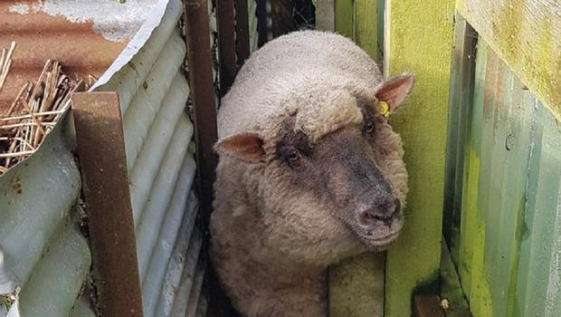 Yum Yum the sheep (Hampshire Fire and Rescue Service/PA)