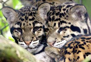 Clouded leopards are among the endangered animals at private conservation centres across Britain (PA)