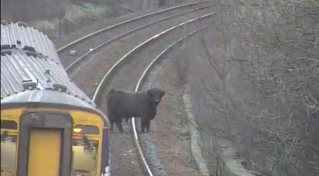 A Highland cow on the railway line at Pollokshaws West (ScotRail/PA)