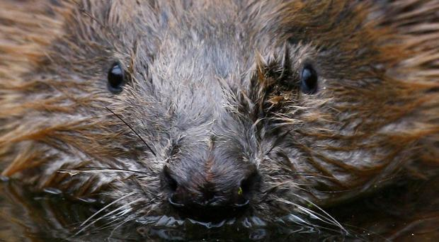 A beaver has been found shot dead in Perthshire (Gareth Fuller/PA)