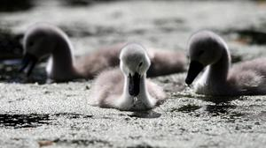 A cygnet died after being kicked by a jogger (David Jones/PA)