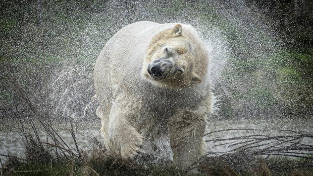 Rasputin the polar bear shakes off water as he is unveiled at the Yorkshire Wildlife Park, Doncaster (Danny Lawson/PA)