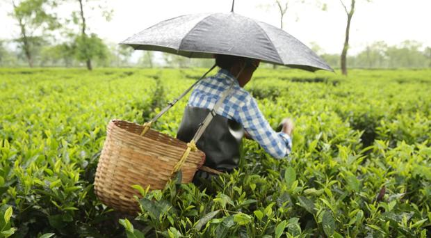 A woman picking tea in Assam, India(Roanna Rahman/Oxfam India/PA)