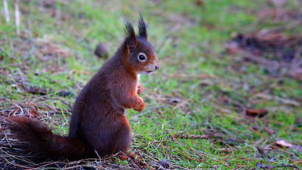 They look cute, but red squirrels may have carried leprosy to the UK, new research suggests (Peter Byrne/PA)