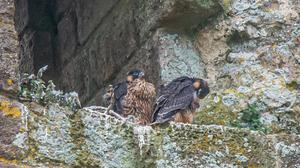 Two of the peregrine falcon chicks at Corfe Castle, cared for by the National Trust (Neil Davidson/PA)