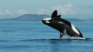 Research reveals the key role of postreproductive killer whale grandmothers on their grandchildren (Kenneth Balcomb/Center for Whale Research/PA)
