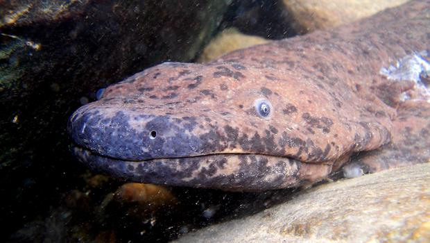 A Chinese giant salamander. The creatures could soon be extinct in the wild because of food demand, say researchers. (Ben Taple/PA)