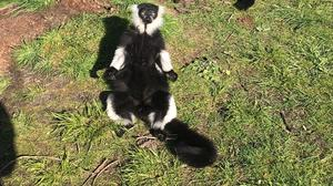 A black and white ruffed lemur sunbathing (Bristol Zoo Gardens/PA)