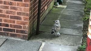 It is hoped the gull will soon be back in the wild (RSPCA)