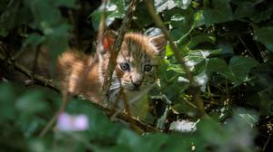 One of the lynx kittens (Josh Biggs/Wild Place Project)