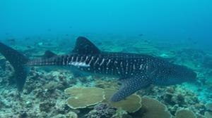 Whale sharks can reach lengths of 18 metres (Maldives Whale Shark Research Programme)