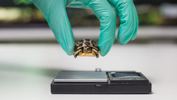 A baby spider tortoise being weighed at Paignton Zoo (Paignton Zoo/PA)