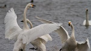 Bewick's swans being aggressive at Slimbridge (Wildfowl and Wetlands Trust/PA)