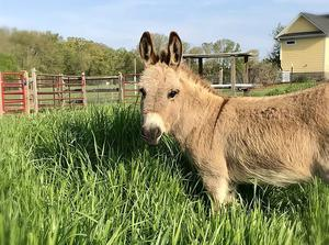 Mambo, an eight-year-old miniature donkey, is being rented out to make surprise appearances in virtual meetings (Peace N Peas Farm via AP)