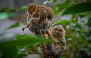 The marmosets are one of the most miniature primate species in the world (Chester Zoo/PA)