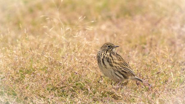 South Georgia pipits have made a comeback since the rats have been eradicated (Oli Prince/PA)