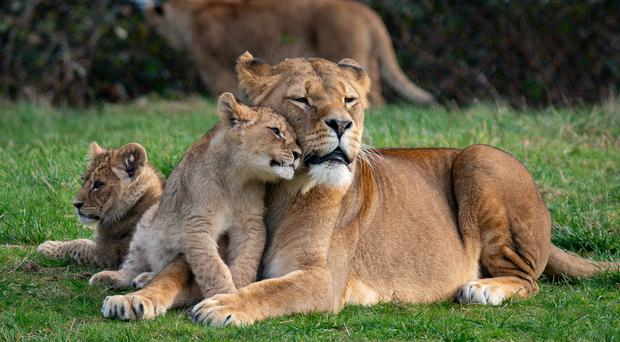 Lions in their enclosure at West Midland Safari Park in Kidderminster, Worcestershire (Jacob King/PA)