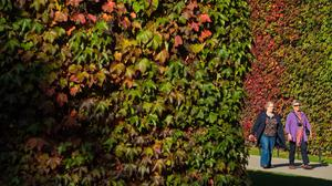 People walk past a wall of ivy showing autumn colours, in St James's Park, central London