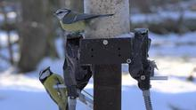 Blue tits 'engage in promiscuous mating based on past encounters' (Kristina Beck/Max Planck Institute for Ornithology/PA)