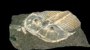 Researchers used digital microscopy to re-examine a fossilised trilobite (Brigitte Schoenemann/University of Cologne)