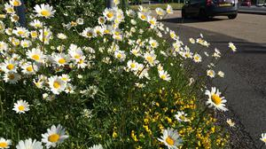 Oxeye daisy and bird's-foot trefoil brighten the view of a roundabout (Trevor Dines /Plantlife/PA)