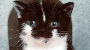 Mowzer, a black and white kitten who is believed to have a rare form of dwarfism (Cats Protection/PA)