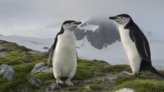 Chinstrap penguin numbers have tumbled on Elephant Island, Antarctica (Christian Aslund/Greenpeace/PA)