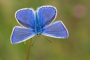 Common blue is one of the butterflies to look out for (Tamás Nestor/ Butterfly Conservation/PA)