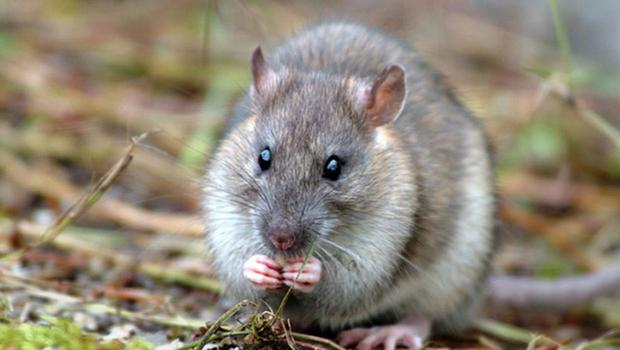 Families have been plagued with a persistent rat infestation.