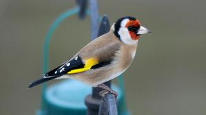 A goldfinch in a garden in Bottesford, Nottinghamshire (PA)