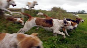Dogs can still be used to flush out foxes for pest control (Owen Humphreys/PA)