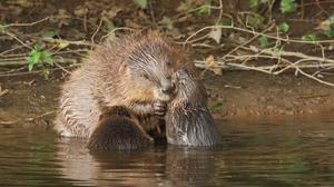 A beaver female with kits, happily oblivious that a key decision about their future has been made (Mike Symes/Devon Wildlife Trust/PA)
