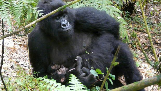 A large population of mountain gorillas make their home in the park (PA)