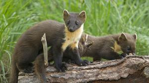 The first pine martens to be reintroduced to England have had kits (Forestry England/PA)