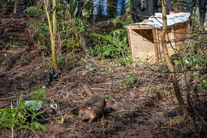 The beavers were released into enclosures earlier this year (Ben Birchall/PA)