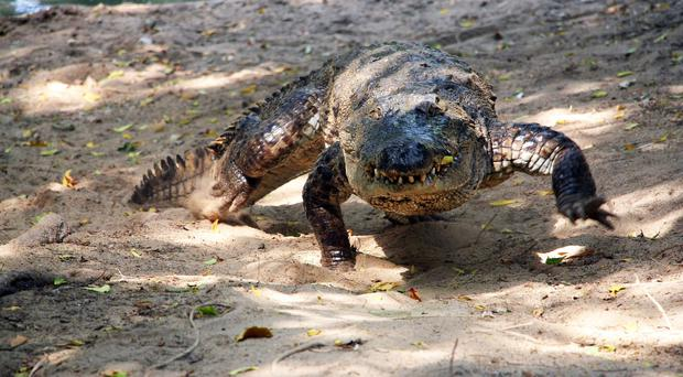 Crocodiles can gallop, clocking speeds of up to 11mph, researchers have discovered (Ken Vliet/PA)