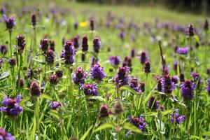 Selfheal in a short grass lawn (Trevor Dines/ Plantlife/PA)
